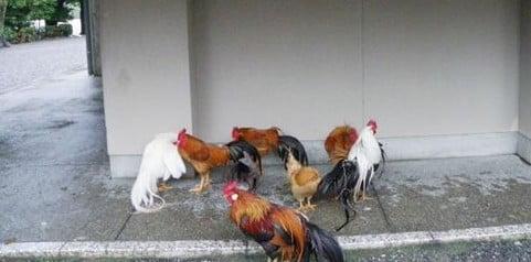 伊勢神宮の放し飼いの鶏(神鶏=しんけい)たちの種類
