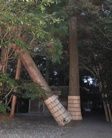 伊雑宮の「杉の木(夫婦杉)」