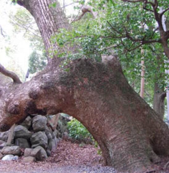 月読宮のパワースポット・「樹齢800年の楠」