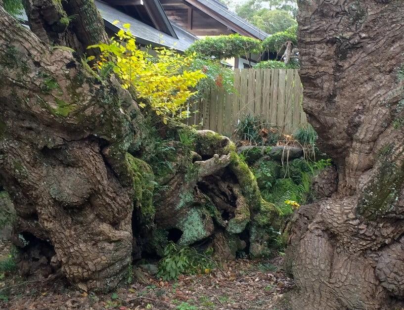 清盛楠が伊勢湾台風で割れたのはウソ