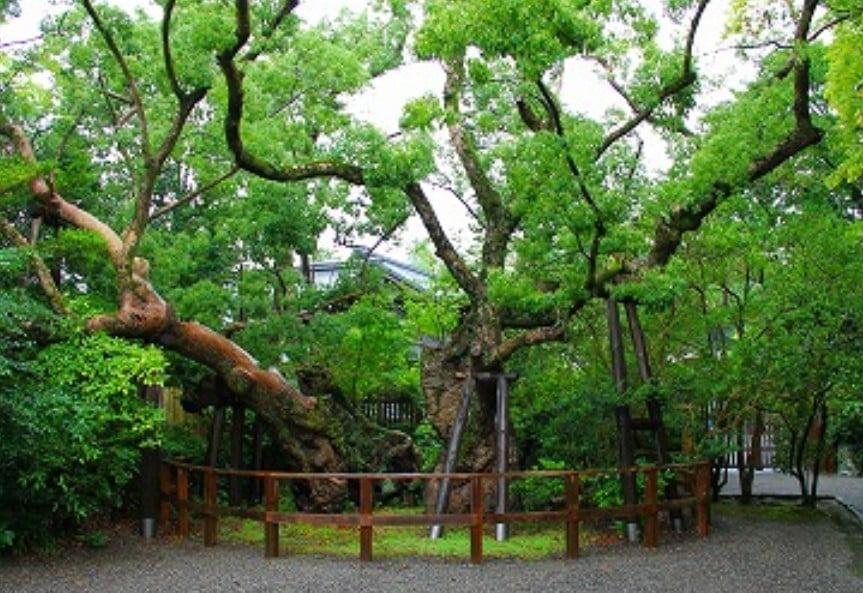 伊勢神宮(-JINGU-)◆ 清盛楠(KIYOMORI-KUSU)
