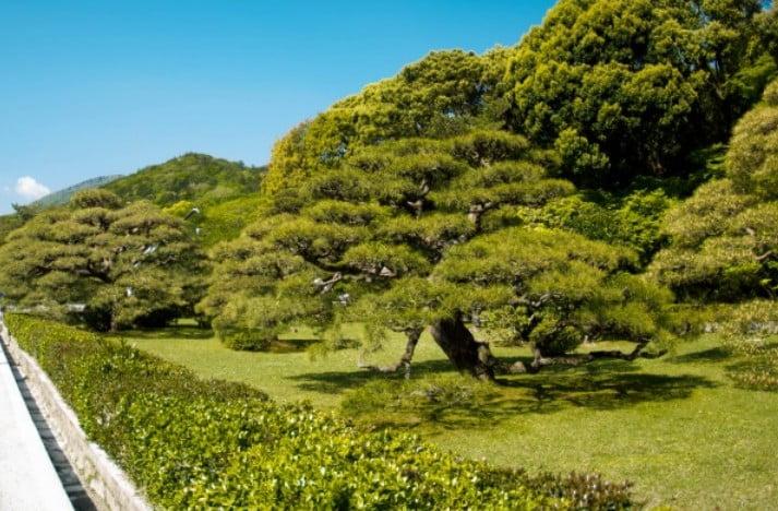 神苑内の見どころ「松の木