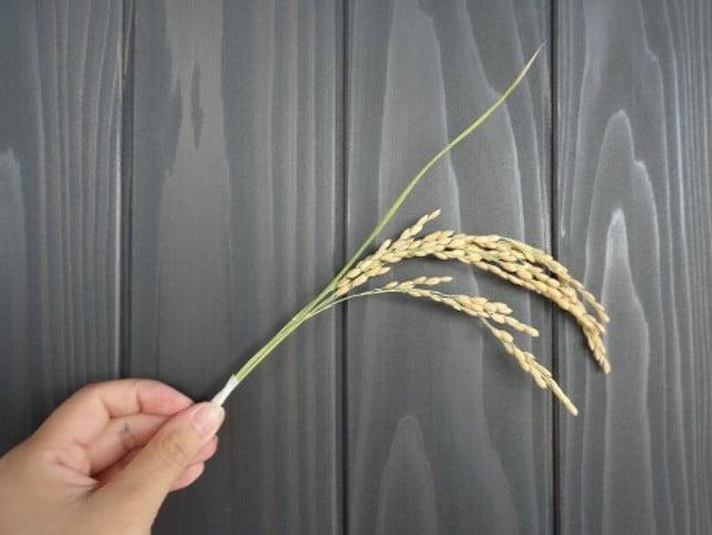 9月に執り行われる「抜穂祭」の「抜穂(ぬいぼ)」